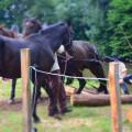zwei Pferde stehen auf der Kocherwiese und grasen, davor liegen Rundhölzer